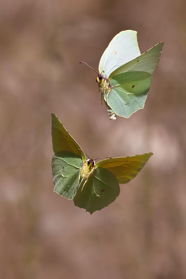 17 meilleures images propos de papillon sur pinterest - Comment attirer les papillons dans son jardin ...