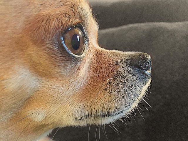 😍😍😍#chihuahua #chihuahuas#chihuahuasofinstagram#chihuahuafanatics#chihuahualove#puppy#puppylove#puppygram#puppydog#dog#dogs#dogsitting#dogstagram#dogsofinstagram#perro#dogoftheday#doglover#chihuahua_petit#instadogs#instadog#dogs_of_world#excellent_dogs#dogofthedayjp#aplacetolovedogs#pet#pets#petstagram#petsagram#petsofinstagram