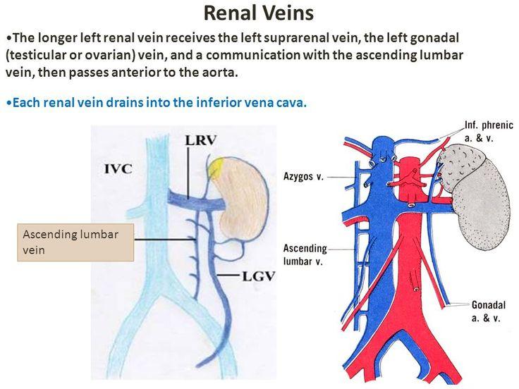 9 Best Ovariangonadal Veins Info Images On Pinterest Website