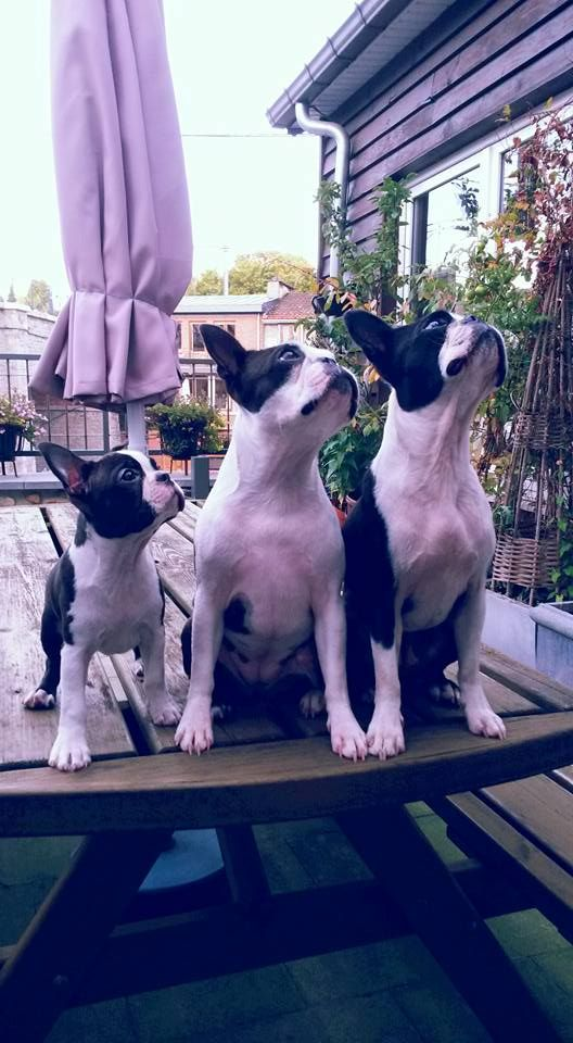Three Boston Terrier Sisters Posing Together !  This is Kiki, Naya and Naka ► http://www.bterrier.com/?p=30109 - https://www.facebook.com/bterrierdogs