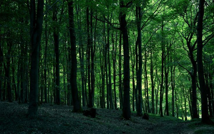 forest trees nature wallpaper background