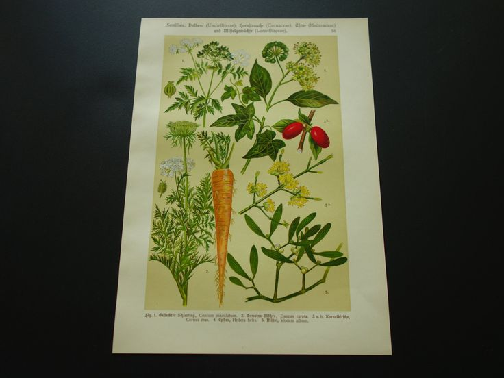 """Antique botanical plate about carrot cornus mas cherry - beautiful original old lithographic floral print with pictures of plants - 8x11"""" by DecorativePrints on Etsy"""