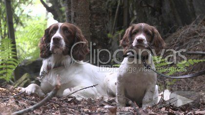 Download this free stock footage clip of english springer spaniel, dog, dogs, offered by Norfilm. Buy stock footage at Clipcanvas.com