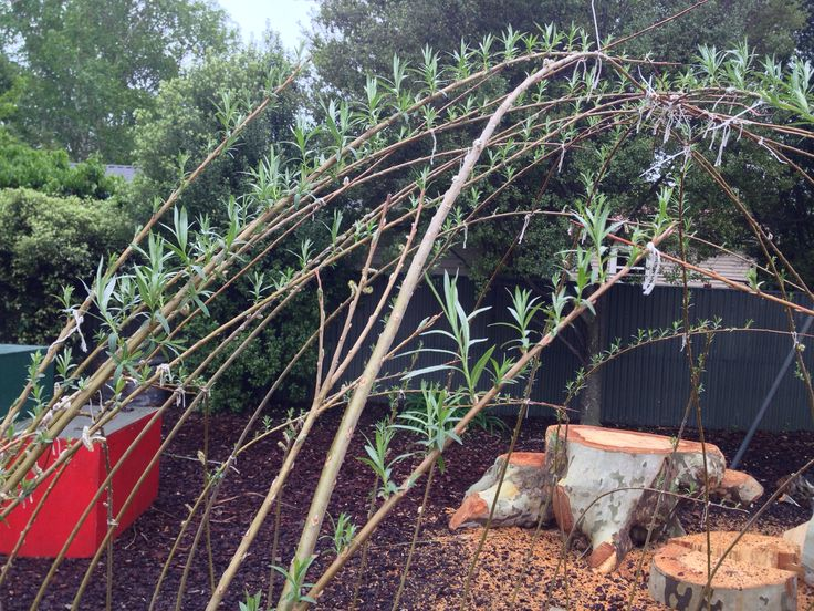 The live willow archway in the kindy garden