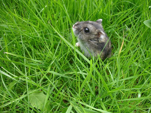 Hamster bebé
