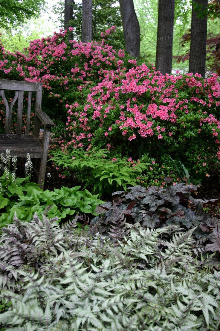 Pink azaleas, Japanese painted ferns, purple Heuchera and Tiarella in a woodland garden.
