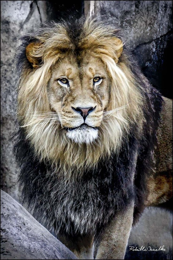 Zawadi, a male African lion, poses for his portrait