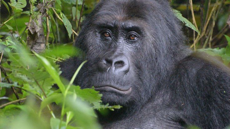 World's Largest Ape Listed As Critically Endangered; Pandas Upgraded To…