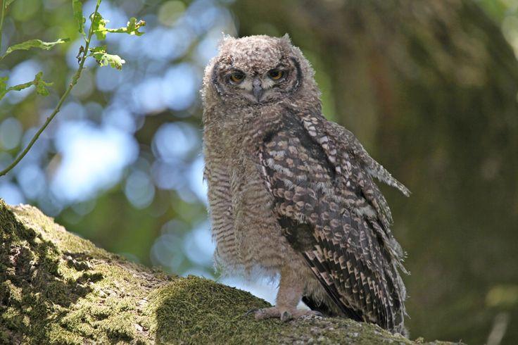 Owl at Fynbos Estate