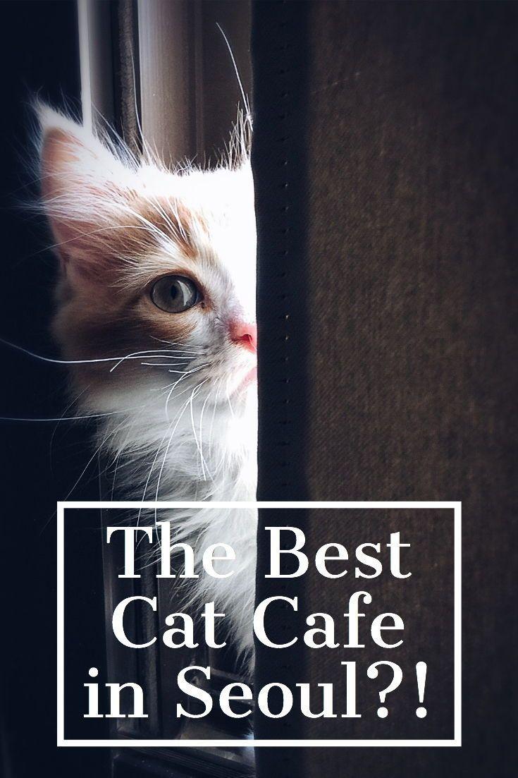 Crumbs Whiskers Cat Cafe Kitten Lounge Book La Kitten Lounge Kitten Season Cat Cafe Kitten Adoption