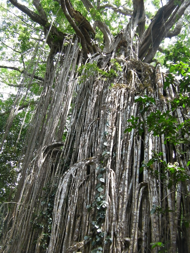 Curtain Fig tree Atherton North Queensland