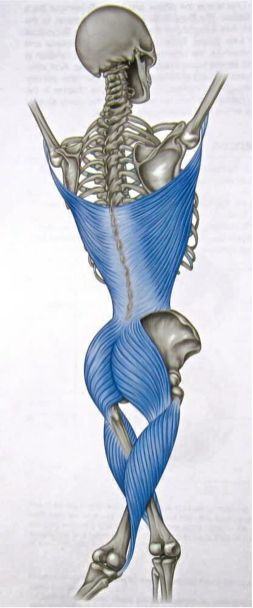 Biomechanically the pelvis and shoulder are linked. This is what is referred to as a Myofascial sling. The hamstrings starting from the tibia then insert into the Ischial tuberosity. This then...