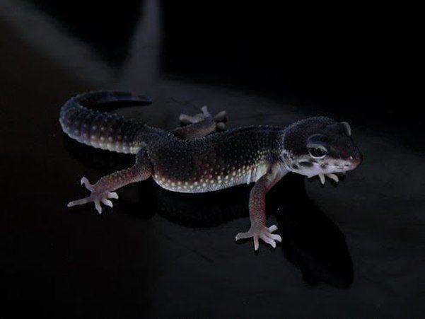 """""""Black Pearl"""" leopard gecko. I - 18.6KB"""