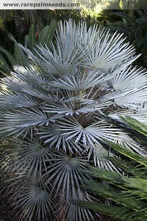 The next palm that I desperately want is Chamaerops humilis var cerifera. It may also be known as var 'argentea'. This is a blue/grey vari...