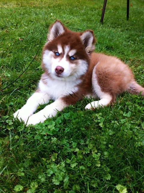 Red Siberian Husky With White Mask And Light Eyes