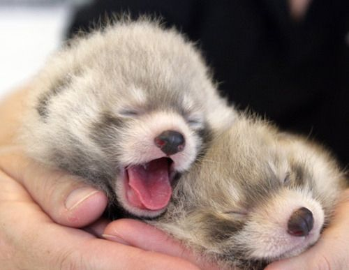 Baby Red Pandas :-D: Babies, Baby Pandas, Pandas Baby, Animals, Animal Pictures, Baby Red Pandas, Animal Baby, Baby Animal, Adorable