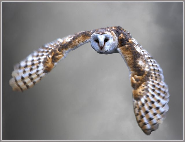 Barn owl flying silently home - tyto alba by hawkgenes, via Flickr