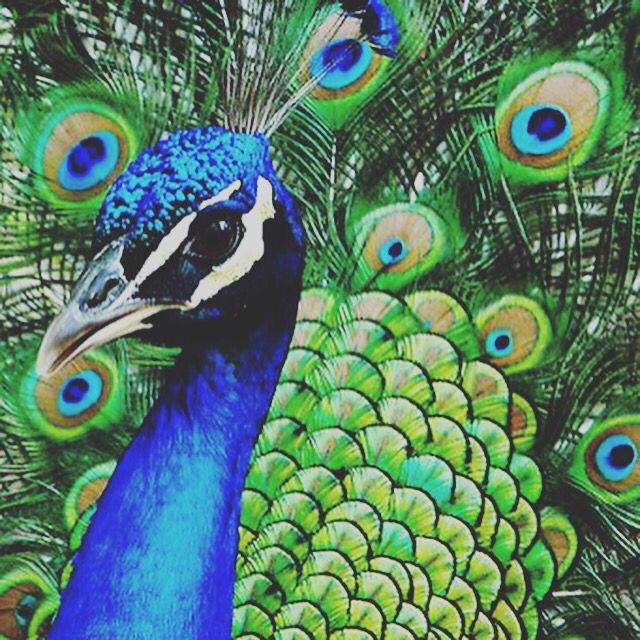 The Cries of a Peacock #animalmessages https://animalsoulsentient.com/blog/