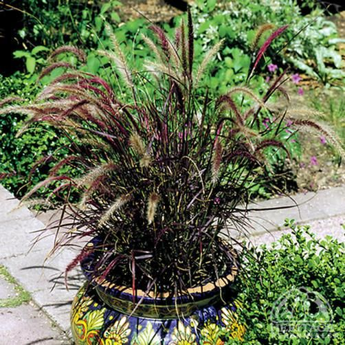 burgundy giant fountain grass - Google Search