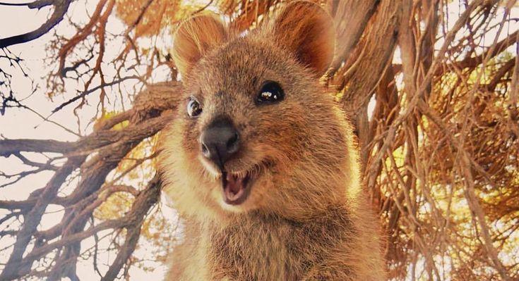 El quokka el animal más feliz del mundo   Animales australianos, Canguros, Marsupiales