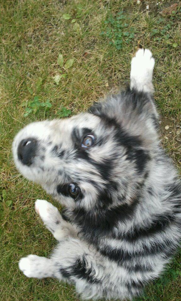 Pauli (Australian Shepherd, Flat Coated Retriever, Neufundländer)   Mischling - Mix