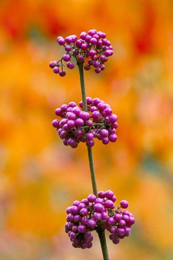 Beauty Berries   photographer Jonathan Buckley