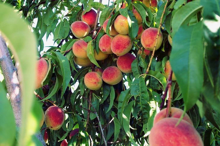 1465 best gardening and permaculture images on pinterest for Peach tree designs