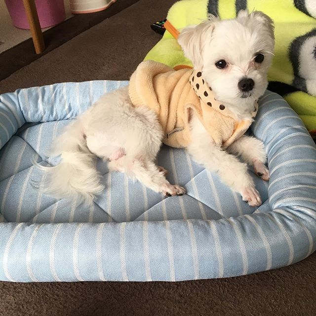 新しい夏用のベッド買ってもらったよ😊 ひんやりしてて気持ちいな☺💖 #まるすけ#マルチーズ#犬#いぬ#わんこ#愛犬#9ヶ月#子犬#僕#新しい#ベッド#夏#買ってもらった#インスタ#ひんやり#冷たい#気持ちい#嬉しい#dog #boy #baby #cute #maltese #happy #bad