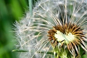 Download this free Stockfoto: Pusteblume Nahaufnahme