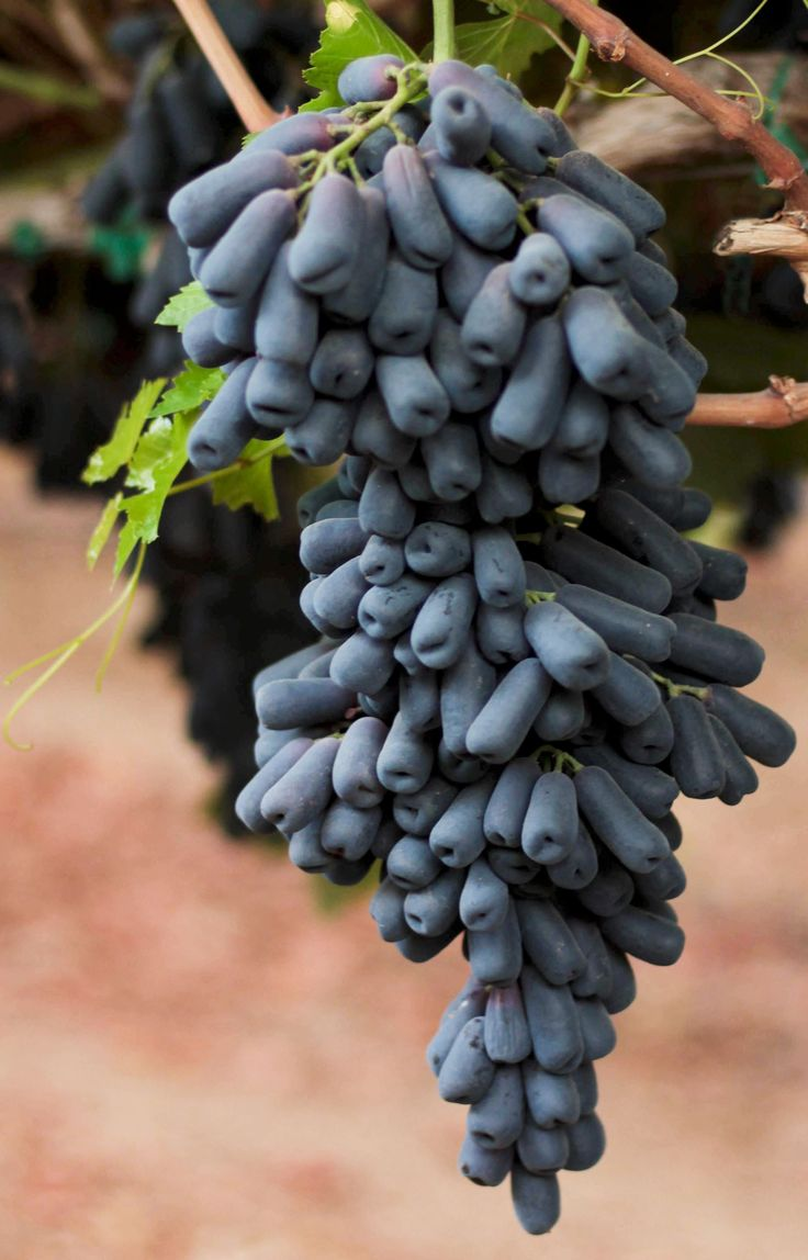 moon drop grapes | Grapery
