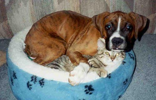 Morgan the Boxer and Sprite the Tabby