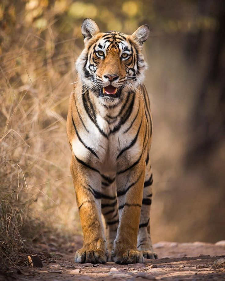 ". Hello Beautiful!"" Photo by @elliottneep Ranthambhore's star tigress… ""Arrowhead"". Not the most flattering of names. Many of the tigers are named after the markings on their faces. #photosafari #bigcat #tiger #stoppoaching #endangered #wildlife..."