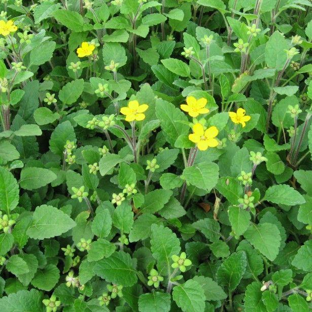 Les 25 meilleures id es de la cat gorie fleurs jaunes for Plante vivace verte