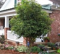 Tea Olive for the landscaping. Good foundation anchor plant.