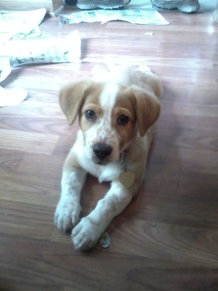 Our puppy Zoey at 12 weeks old. She is a Beagle/Corgi mix. Love those freckles of hers!