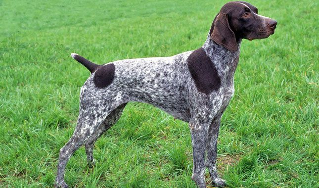 German Shorthaired Pointer Dog Breed - info for future buyers