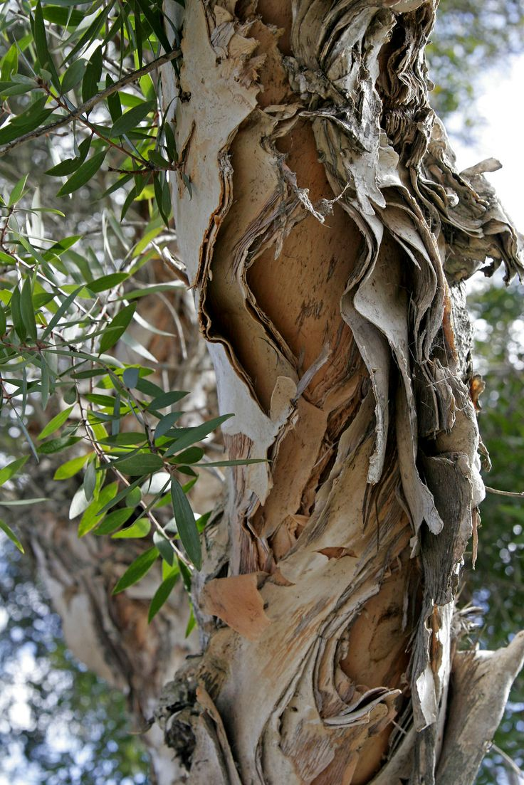.paperbark tree