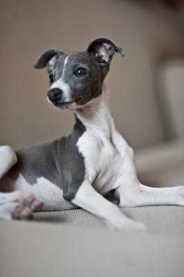 Italian Greyhound <3