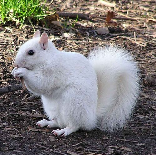 "UT Austin - albino squirrels! - Squirrels are so much more than ""cute""! Researchers have found that squirrels are capable of deception, interpreting the intentions of others, making three-dimensional maps to recall where they cache their nuts. Squirrels in California will cover their fur in the scent of rattlesnakes to mask their own scent from predators."