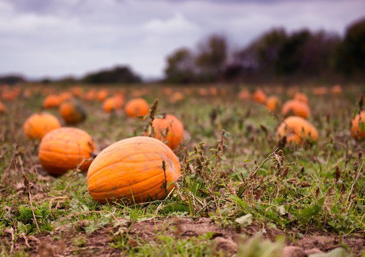 Pumpkin field 2 weeks before Halloween :)