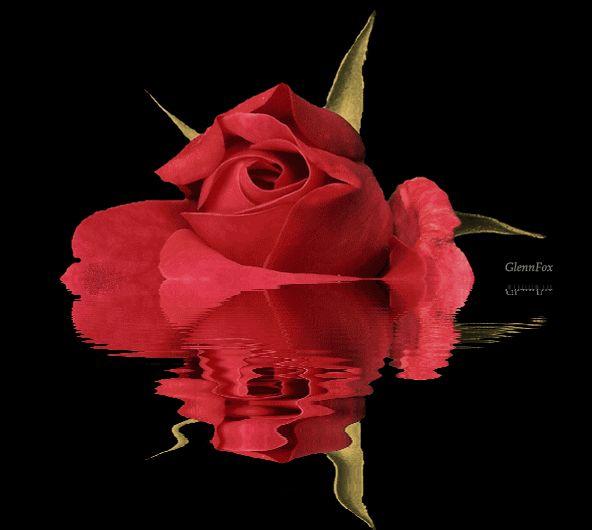 Hermosas imágenes de rosas con movimiento