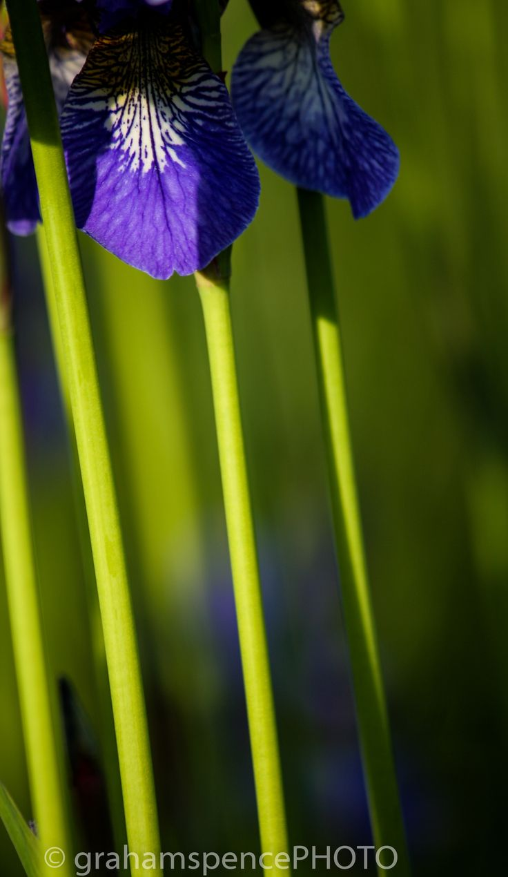 Even the stems of Irises make for beautiful symmetry.