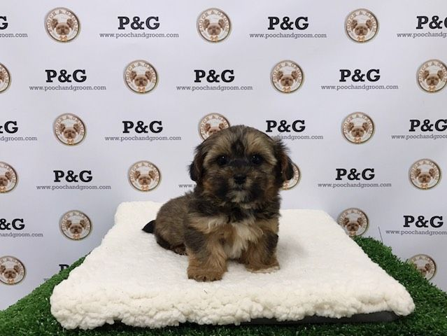 Shorkie Tzu puppy for sale in TEMPLE CITY, CA. ADN-26457 on PuppyFinder.com Gender: Female. Age: 7 Weeks Old