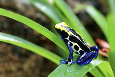 Native to South America, poison dart frogs exhibit brilliant colors to help ward off predators. In the wild, these frogs secrete a powerful toxin through their skin, although most that are bred in captivity aren't fed a diet that allows them to retain their poisonous abilities, leaving most of them full of color but not toxins. Caring for them at home starts with creating a tropical environment.