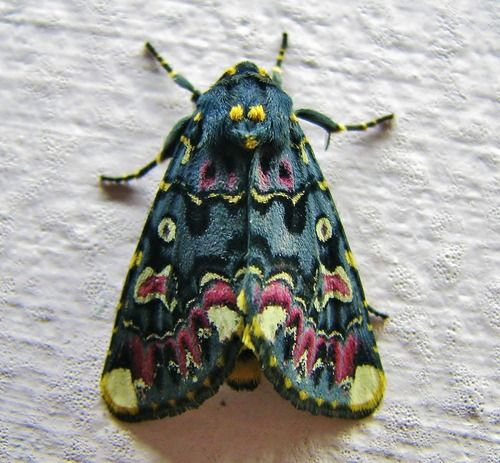 Lily Moth / Polytela Gloriosae I had to check this was real, not embroidered!