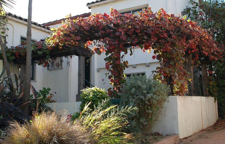 Vitis californica 'Rogers Red' - Rogers Red California Grape