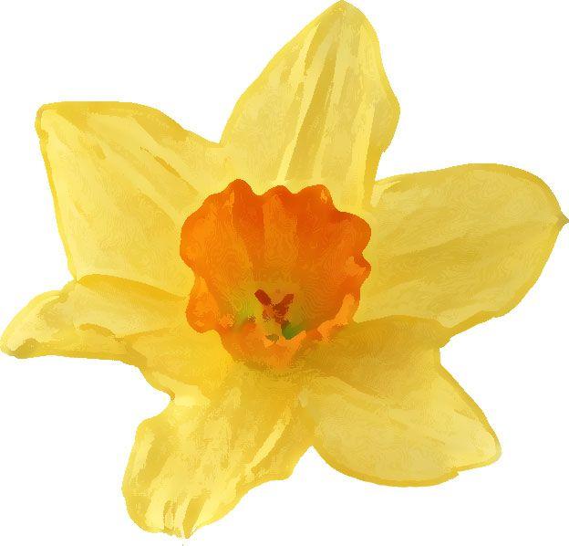 Daffodil Flower Clip Art   リアルな花のイラスト・フリー素材/花一輪No.1692 ...