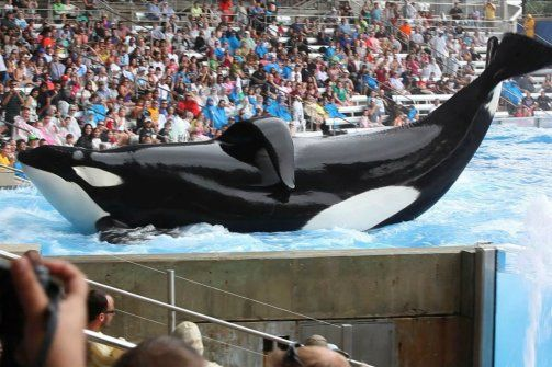 """""""Blackfish"""" Director: Killer Whales Don't Belong in Captivity - I watched this special on CNN and it was the most heart breaking program I have seen in a while.  These animals need to be released back to the wild if possible or moved to sea pens if they are unable to go back to the wild.  Keeping them in these conditions is just not right."""