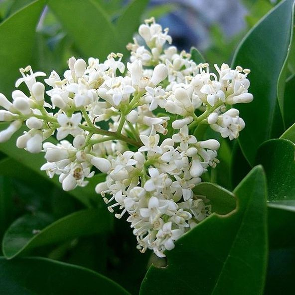 Ligustrum japonica Texanum - (Waxleaf Privet)