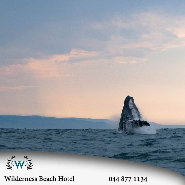Are you on holiday in Wilderness? If you are, have you realised that at this time of the year there are tons of whales and dolphins along the coast for you to see in there natural environments? #lifestyle #whalewatching #destination